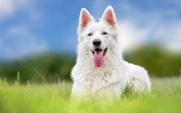 Белая овчарка в траве