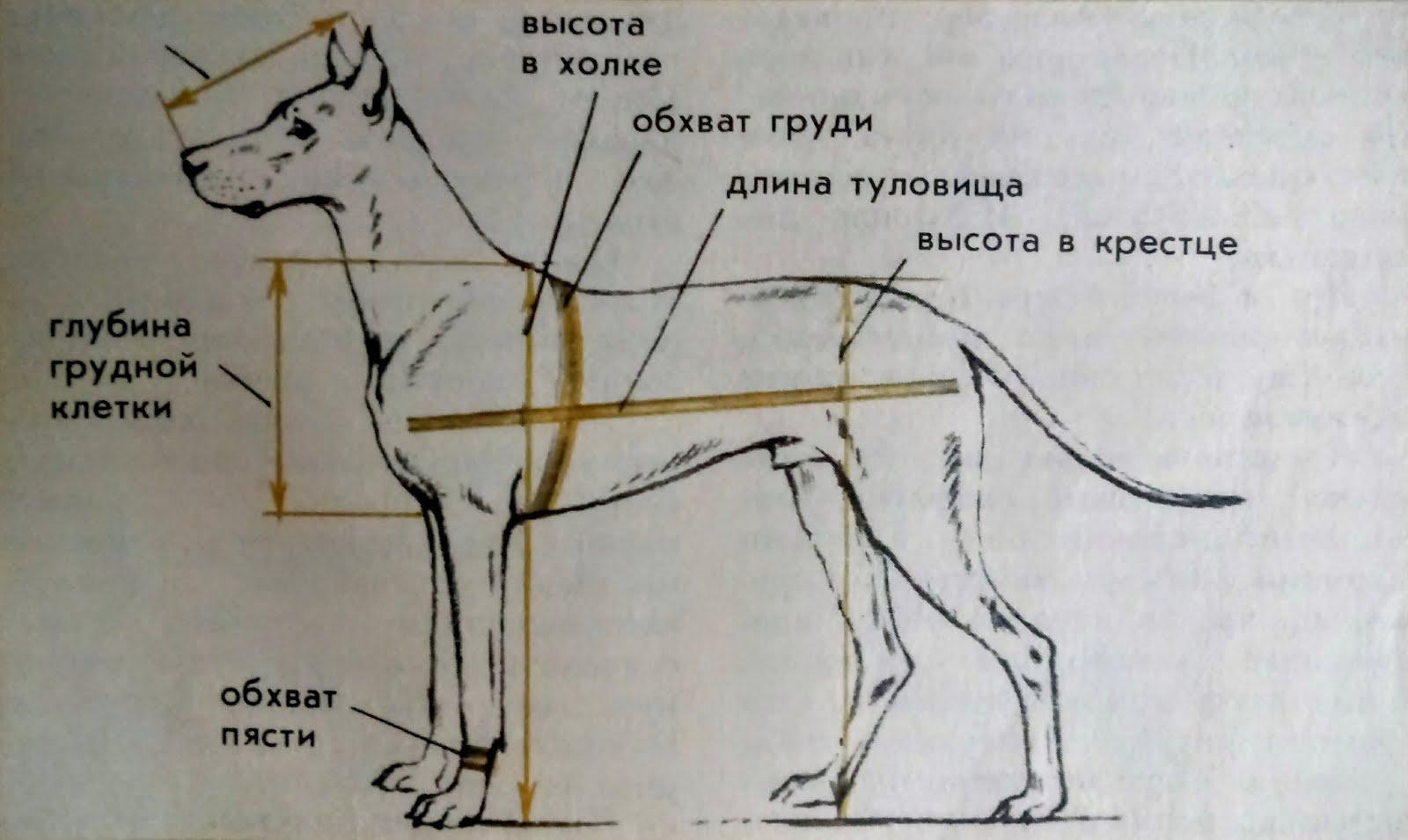 декоративное картинка измерения собаки грозном продолжались